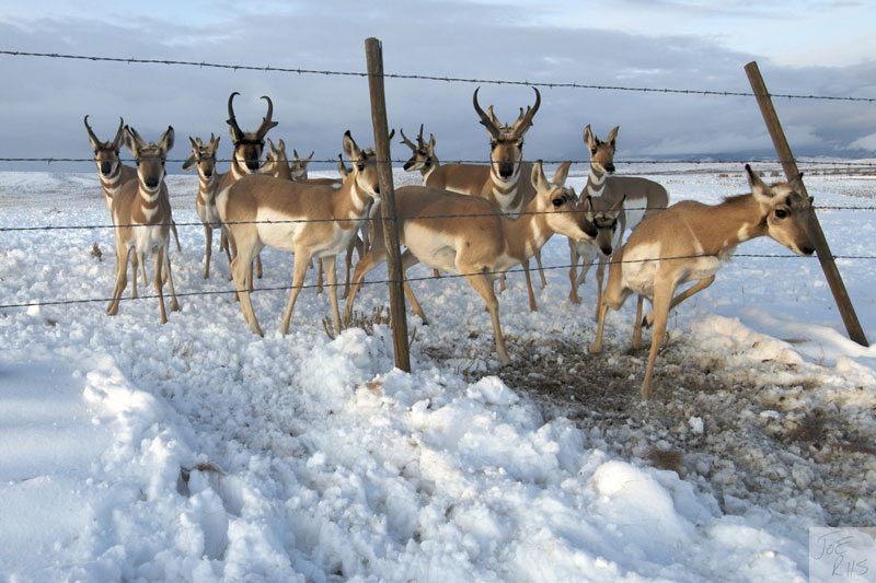 Pronghorn negotiating a barbed wire fence. Image by Joe Riis from 'Pronghorn Passage'