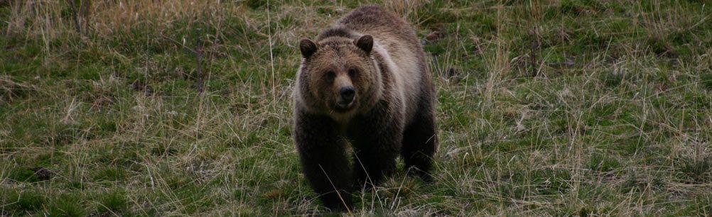 Grizzly bear in Yellowstone National Park. Photo by C.R. Preston.