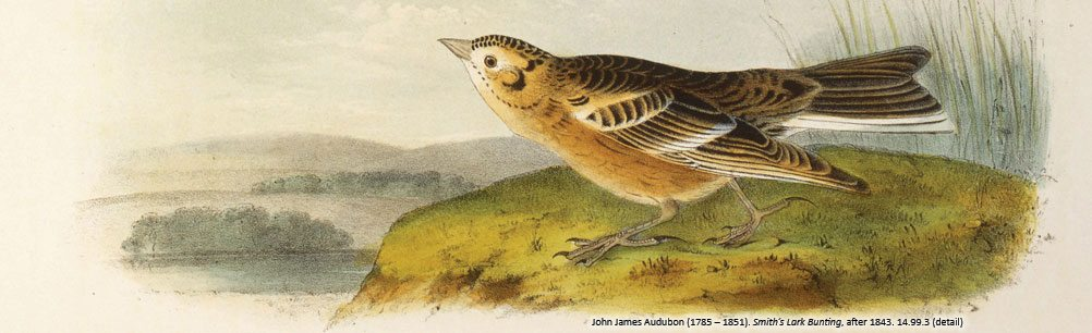 "John James Audubon's 'Smith's Lark Bunting.' From past exhibition ""Audubon and Friends."" 14.99.3"