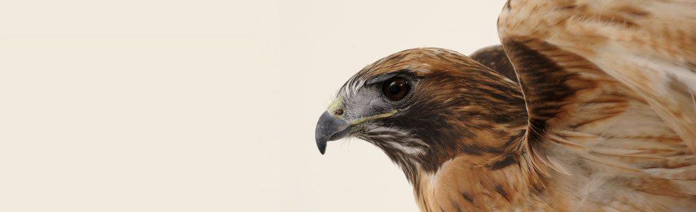 Isham the red-tailed hawk, Draper Museum Raptor Experience