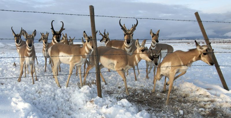 Pronghorn antelope at barbed wire fence, from 'Pronghorn Passage.' Joe Riis photo.