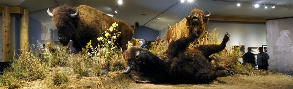 American bison diorama in the Buffalo Bill Museum