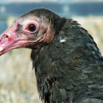 My Favorite Interesting Facts About Turkey Vultures
