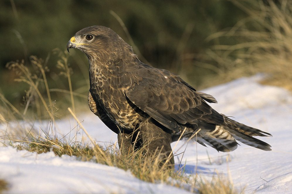 Common Buzzard (photo from a free use website)