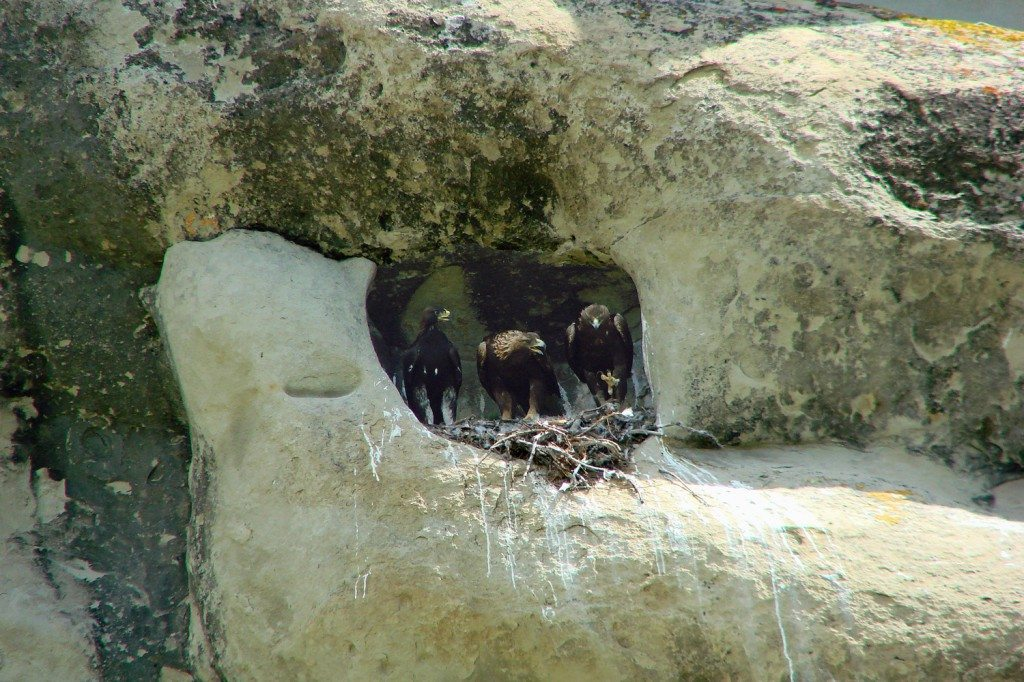 Golden Eagle family in my 2011 study nest.