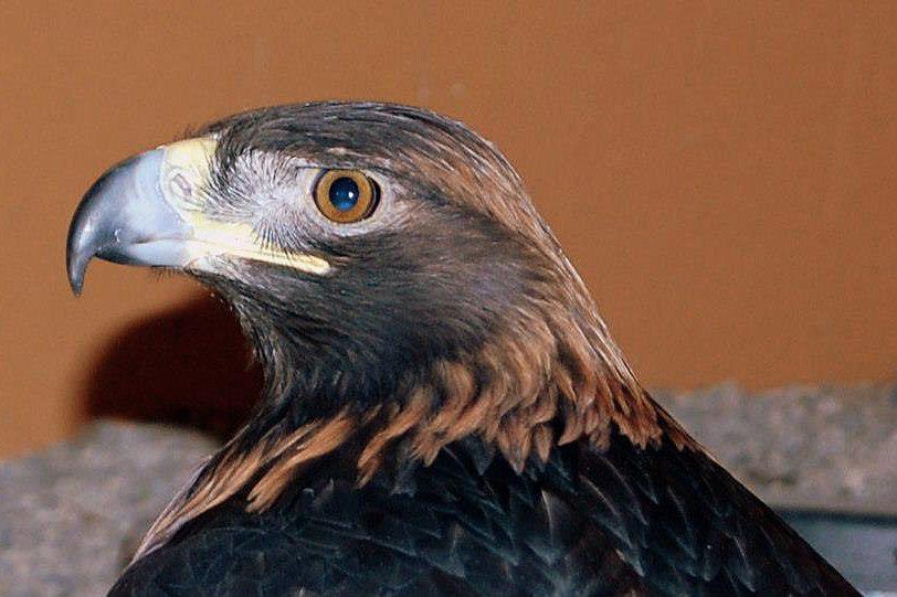 Kateri, our regal Golden Eagle.