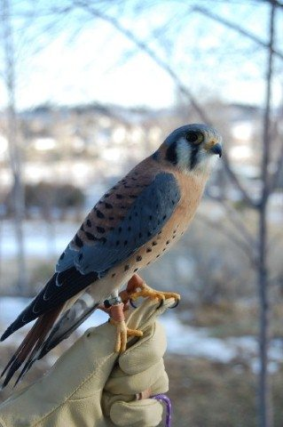 A male American kestrel showing off the beautiful blue-gray color of the male's wings.