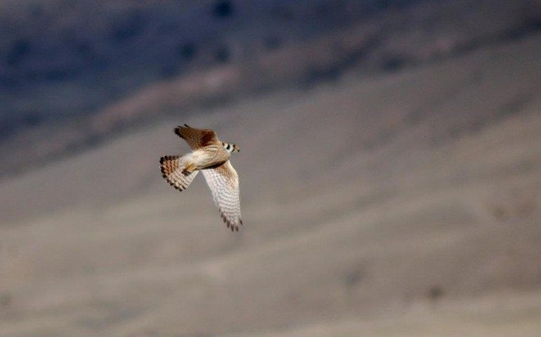 Female American kestrel in flight. Note all the bars on the tail.
