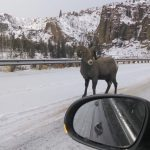 Skiing in Cody means Yellowstone wildlife from your car window