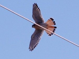 Male kestrel in flight. Notice the more solid tail with the dark band near the tip.