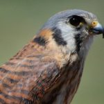 My favorite facts about the American kestrel