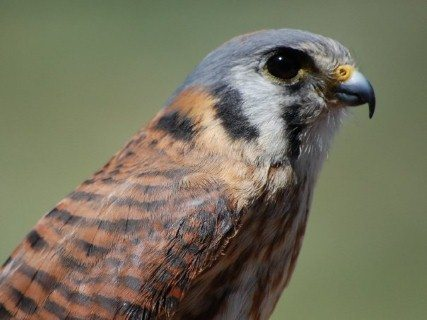 Close up showing the malar, or mustache, stripes below the eyes. You can also see one ocelli - the black circle on the neck, farthest to the left.