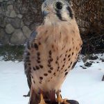 The Eagle, er American Kestrel, Has Landed