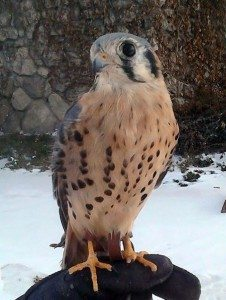 "Our American kestrel, ""Salem."" Note how small he is compared to the glove he is standing on."