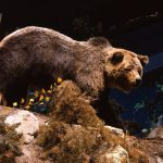Treasures from Our West: Grizzly Bear 104