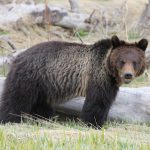 Journey through the world of the Yellowstone grizzly bear at March 6 lunchtime expedition