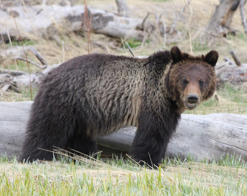 Yellowstone grizzly bear, May 2013. Photo by C.R. Preston.