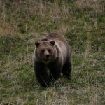 Yellowstone grizzly bear. Photo by Dr. Charles R. Preston.