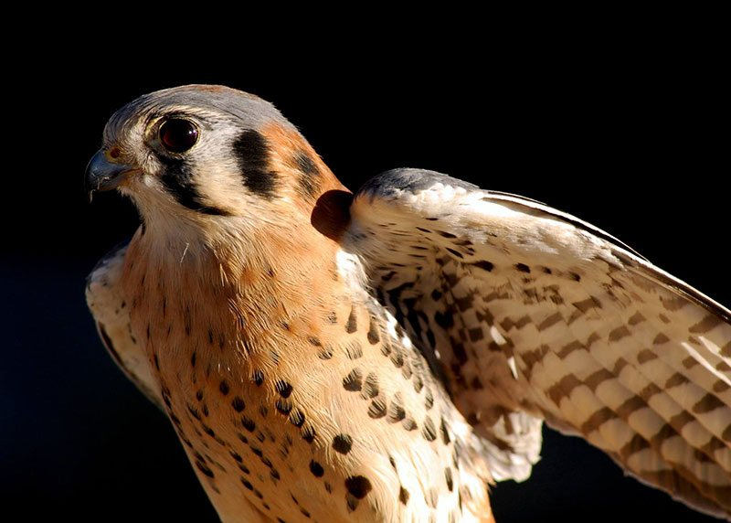 Greater Yellowstone Raptor Experience: Salem the American kestrel