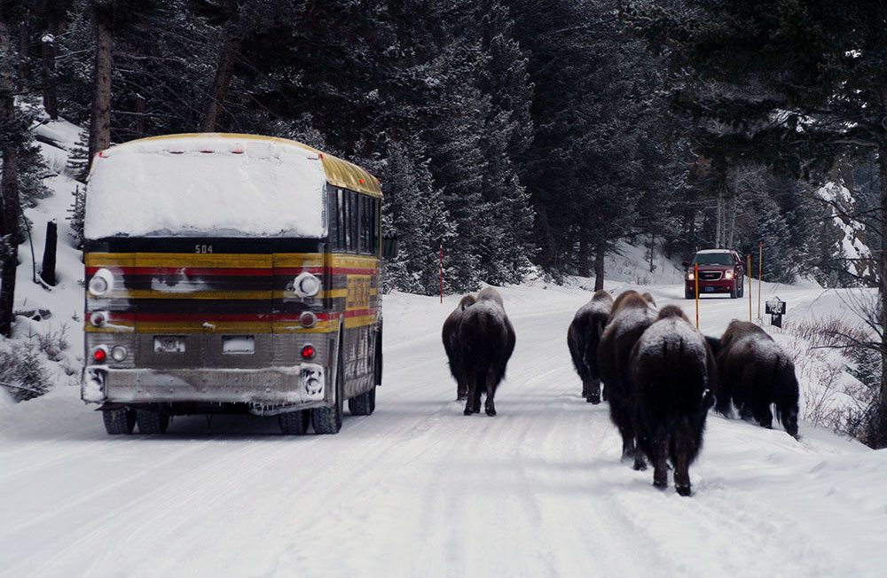Winter in Yellowstone: ...a traffic jam?