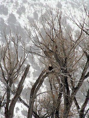 Winter in Yellowstone: bald eagle
