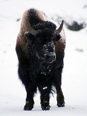 Winter in Yellowstone: bison