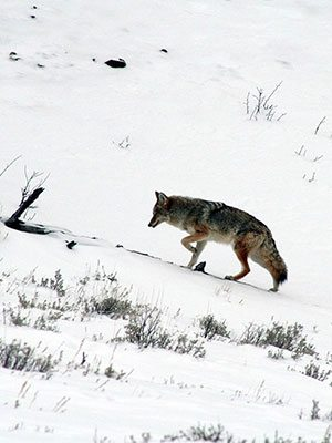 Winter in Yellowstone: coyote