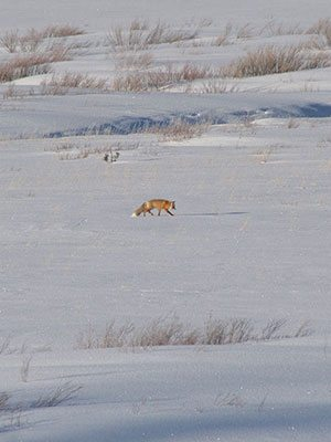 Winter in Yellowstone: fox across a meadow
