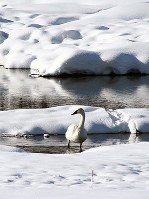 Winter in Yellowstone: trumpeter swan