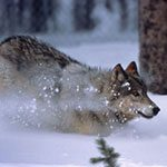 Wolf. NPS photo by Barry O'Neill.