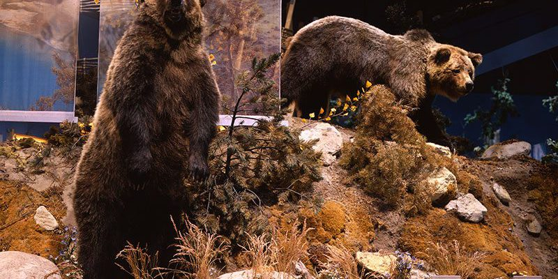 Treasures from our West. Grizzly bear 104's cub. DRA.305.67