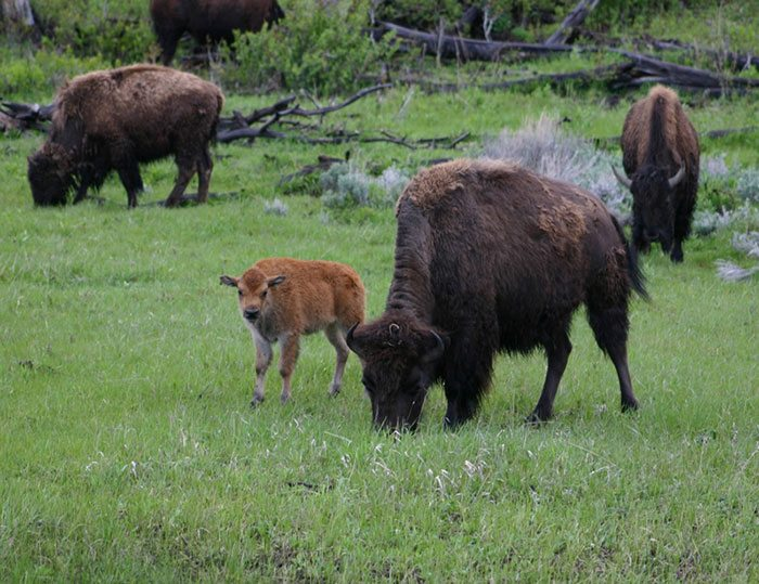 Yellowstone Park bison and calf, spring 2005. C.R. Preston photo.