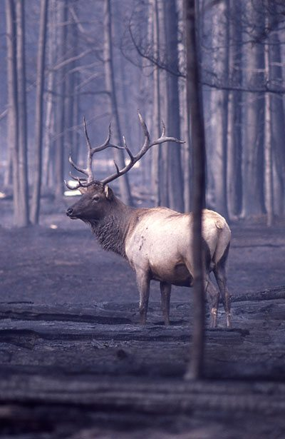 At least 350 elk died as a direct result of the 1988 fires. NPS photo.
