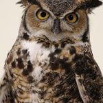 Teasdale the great horned owl.