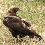 "Free Lunchtime Expedition lecture looks at the ""big picture"" in golden eagle conservation"