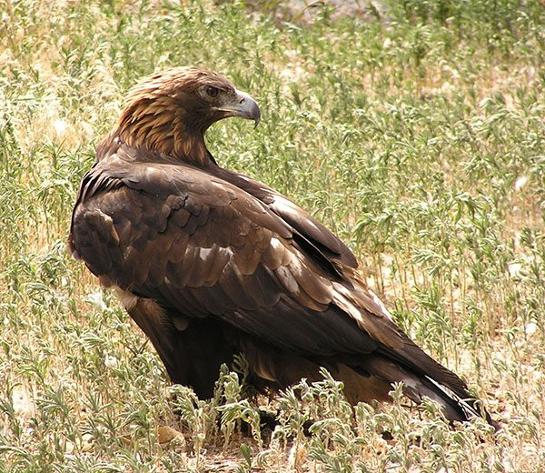 Golden eagle. Photo by C.R. Preston.