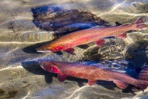 Two cutthroat trout in Yellowstone National Park, a grizzly bear food source that has declined in recent years.