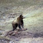 Yellowstone Grizzly Bear and Winter-killed Wildlife