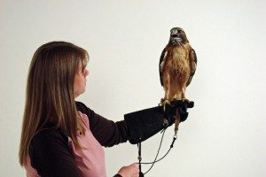 Melissa wearing a medium-sized glove with our red-tailed hawk, Isham.
