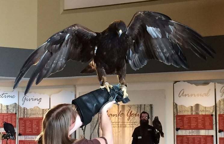 Melissa wearing the shield over her large glove while handling Kateri, our golden eagle.