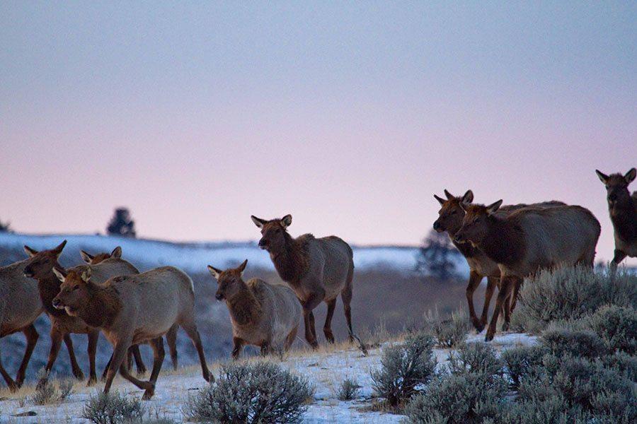 Ungulate Migration Wyoming's Ungulate Mig...