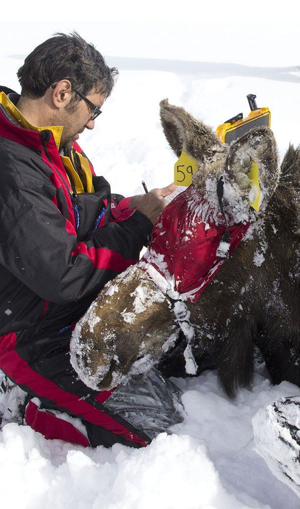 Dr. Matt Kauffman studying moose in the field.