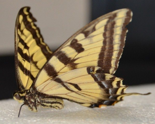 Butterfly after treatment.