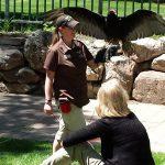 The Turkey Vulture