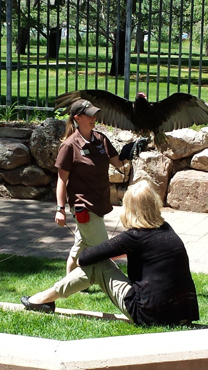 Turkey vulture Suli, one of the raptors of the Draper Museum Raptor Experience, during a program.