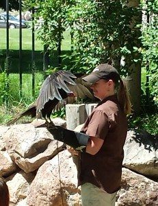 Suli the turkey vulture in action during the Draper Museum Raptor Experience