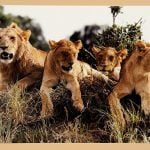 "Lions, from ""African Perspectives"""