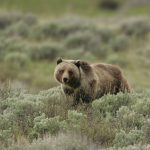 Draper Museum's July 3 lecture considers challenges of successful grizzly bear recovery in Grand Teton National Park