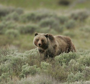 Lunchtime Expedition: grizzly bear management @ Center of the West's Coe Auditorium | Cody | Wyoming | United States