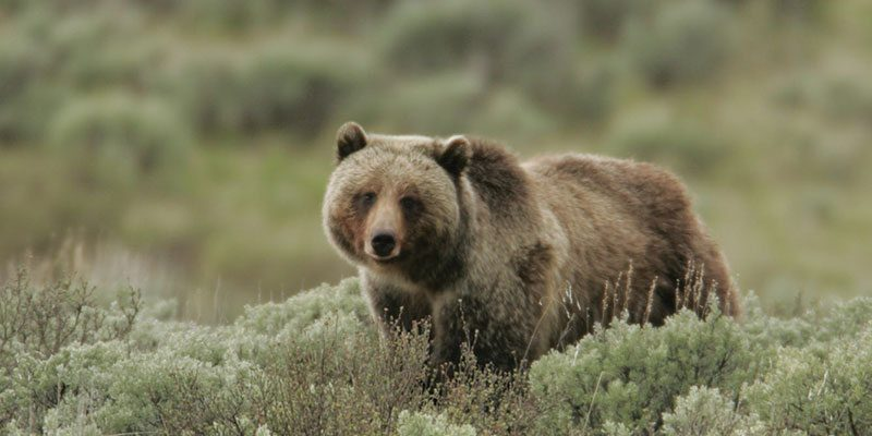 Grizzly bear. NPS photo by Jim Peaco.